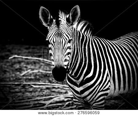 African Zebra. Awesome Print Of African Wildlife, African Safari And Wild Animals. Travel To Africa.