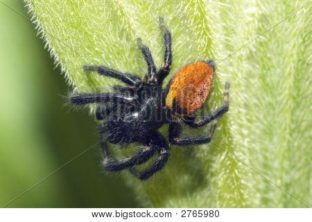 Black Jumping Spider