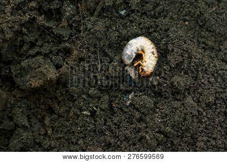 Larva. Vile disgusting maggot. Image of grub worms. Beetle larvae. Nasty insect. Pest root. Sickening animal. poster