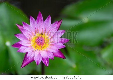Beautiful Lotus Flower In Garden. Lotus Flower Background. Lotus Flower Texture. Lovely Lotus. Lotus