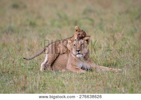 Lioness And Cub Playing