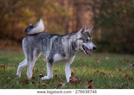 Siberian Husky And Fall Colors