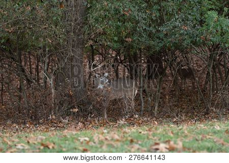 White-tailed Deer Buck In The Woods