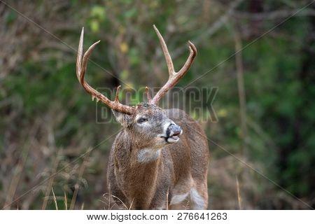 White-tailed Deer Buck Lip Curl