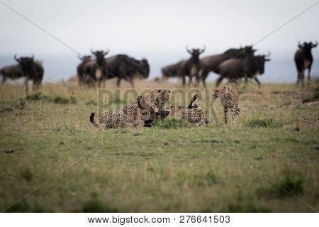 Cheetahs Attacking Wildebeest