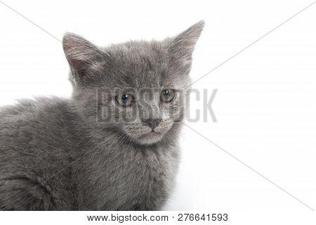 Cute Gray Shorthair Kitten Sitting Isolated On White Background