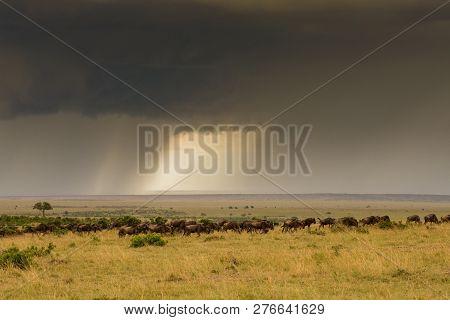 Wildebeest Herd In Masai Mara Game Reserve, Kenya, With Storm In Background