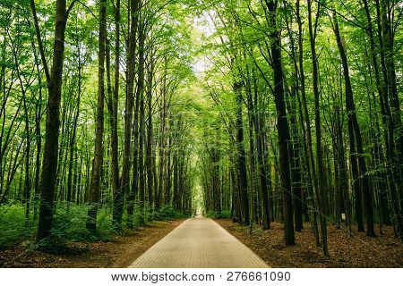 Walkway Lane Path With Through Tilia Cordata Trees In Forest. Beautiful Alley, Road In Park. Pathway
