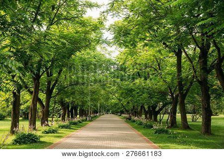 Walkway Lane Path With Through Juglans Mandshurica, The Manchurian Walnut Trees In Garden. Beautiful