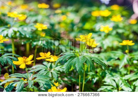 Group Of Growing Blooming Anemone Ranunculoides Or Yellow Wood Anemone Flowers In Early Spring Fores