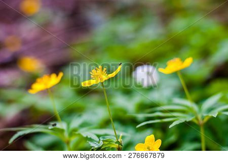 Tiny Black Bug Sitting On Blooming Anemone Ranunculoides Or Yellow Wood Anemone Flowers In Early Spr