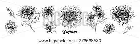 Sunflower Hand Drawn Vector Collection. Floral Ink Pen Sketch. Black And White Clipart. Realistic Wi
