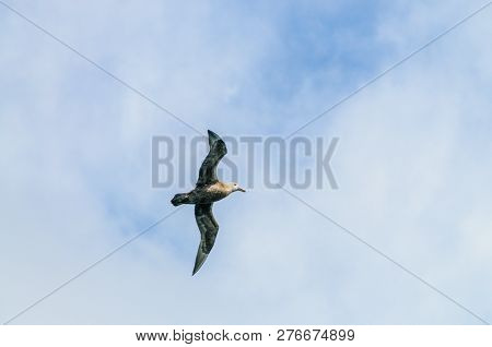 A Southern Giant Petrel - Macronectes Giganteus - Circling Over The Southern Atlantic Ocean, Somewhe