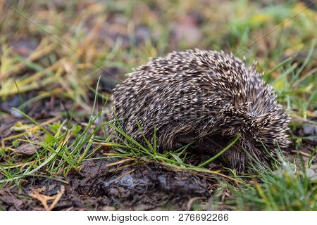 Little Hedgehog Curled Up In Hibernation - Close-up Cub