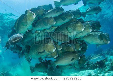 Bumphead Parrotfish fish at Sipadan Island