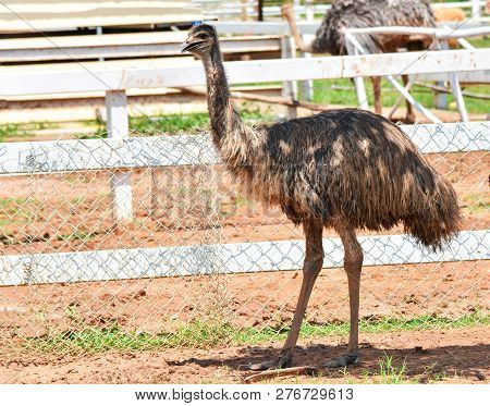 Emu Walking Eating In Farm Emu Or Ostrich Large Bird On Cage Zoo In The Wildlife Sanctuary - Common