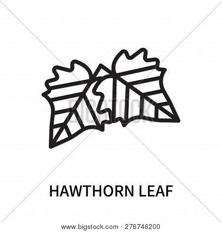 Hawthorn Leaf Icon Isolated On White Background. Hawthorn Leaf Icon Simple Sign. Hawthorn Leaf Icon
