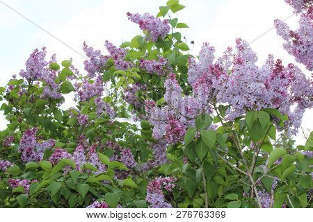 A Large Bush Of Purple Lilacs And Blooms Profusely In The Spring