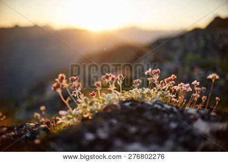 Rare Mountain Flowers And Plants Growing On The Slope Of The Caucasus Mountains, Sunny Dawn. Small B