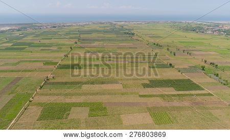 Aerial View Agricultural Land With Sown Green, Tobacco Field In Countryside. Farmland With Tobacco P