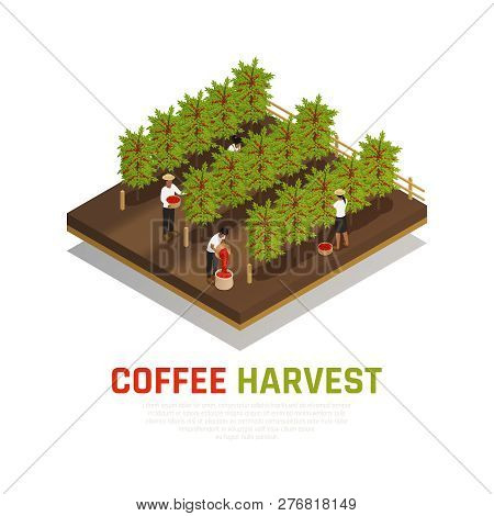 Coffee Industry Production Isometric Composition With Coffee Trees On Fazenda With People Collecting