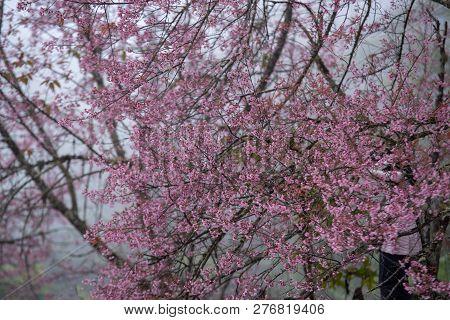 Paphiopedilum Flowers At Doi Inthanon,pink Sakura Flower At Paphiopedilum Orchid Species Conservatio