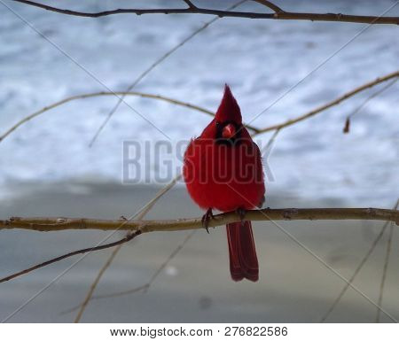 The Red Bird Cardinal Sitting On Branch