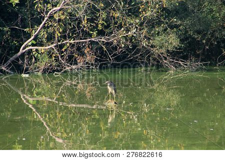 The Grey Heron Standing In Pond,s Water