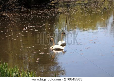 Two Swans On The Water Surface Of The Pond