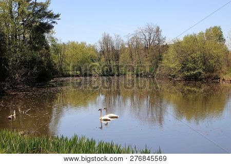 Pair Of Swans On The Water Surface