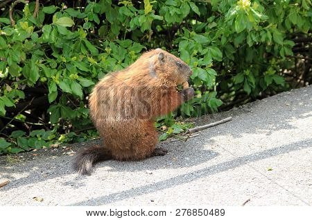 The Gopher Sitting On The Road And Eating