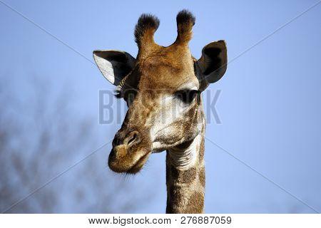 Close-up Of A South African Giraffe (giraffa Camelopardalis Giraffa). Modlito Game Reserve, Kruger P