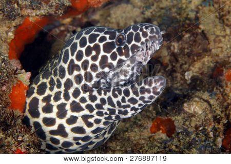 Close-up Of A Honeycomb Moray (gymnothorax Favagineus). Tofo, Mozambique