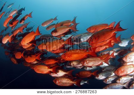 School Of Lunar-tailed Bigeyes (priacanthus Hamrur). Tofo, Mozambique