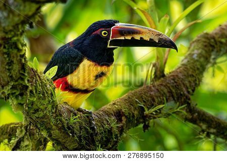 Collared Aracari - Pteroglossus Torquatus Is Toucan, A Near-passerine Bird. It Breeds From Southern