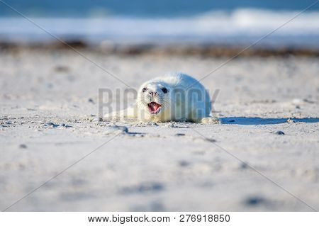 Atlantic Grey Seal Pup On Sandy Beach/atlantic Grey Seal Pup/atlantic Grey Seal Pup (halichoerus Gry