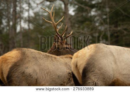 Bull Elk Watching Over Herd