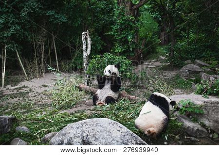 Two Hungry Giant Panda Bear Ailuropoda Melanoleuca Eating Bamboo Leaves Lying Near Stone On Bank Of