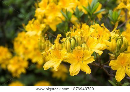 Rhododendron. Bright And Juicy Flowers On The Rhododendron Bush. Floral Background With Beautiful Fl
