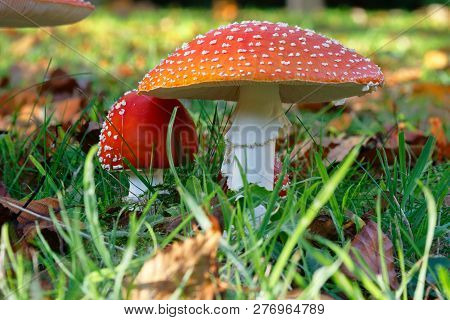 Fly Agaric Red And White Fungi In A Field
