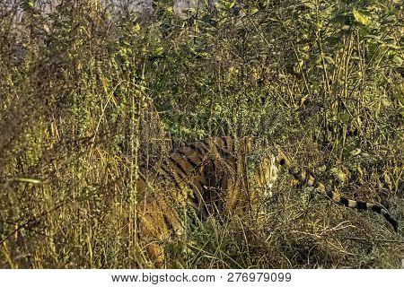 Wild Bengal Tiger (panthera Tigris Tigris) Hidden In The Bush - Jim Corbett National Park, India