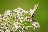 Close up of orange butterfly that is standing on the white flower of elderberry that is growing on the meadow. poster