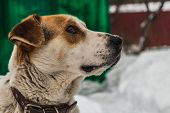 A Head of a big beautiful pooch brown-white dog with brown eyes in a brown leather collar is guarding the yard poster