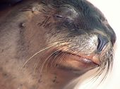 close-up of a sea lions head poster