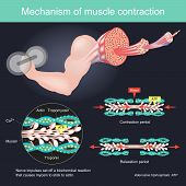 The muscle contraction as a result of Nerve impulses set off a biochemical reaction that causes myosin to stick to actin. Human body infographic. poster