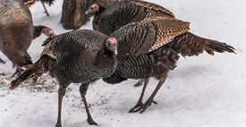 Eastern Wild Turkey (meleagris Gallopavo Silvestris) Hens Feeding On Seed In A Wooded Yard.