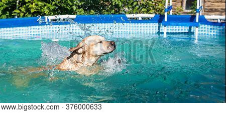 Dog Labrador Swims In The Frame Pool Outdoors