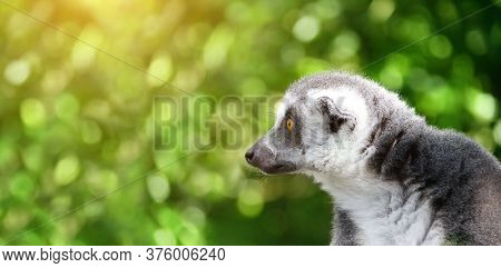 Horizontal banner with cute Lemur Catta. Close-up portrait of Ringtailed lemur on sunny blurred green background. Copy space for text