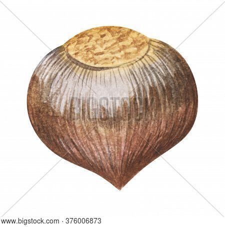 Watercolor Realistic Image Of Hazelnut In Smooth Brown Shell. Hand Drawn Illustration Of Ripe Nut Is