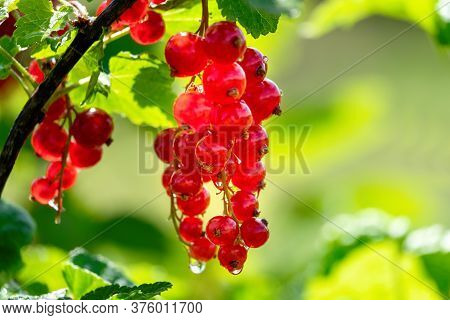 Juicy Fresh Ripe Berries Of A Red Currant On A Branch In Nature Outdoors Close-up Macro, Soft Focus.